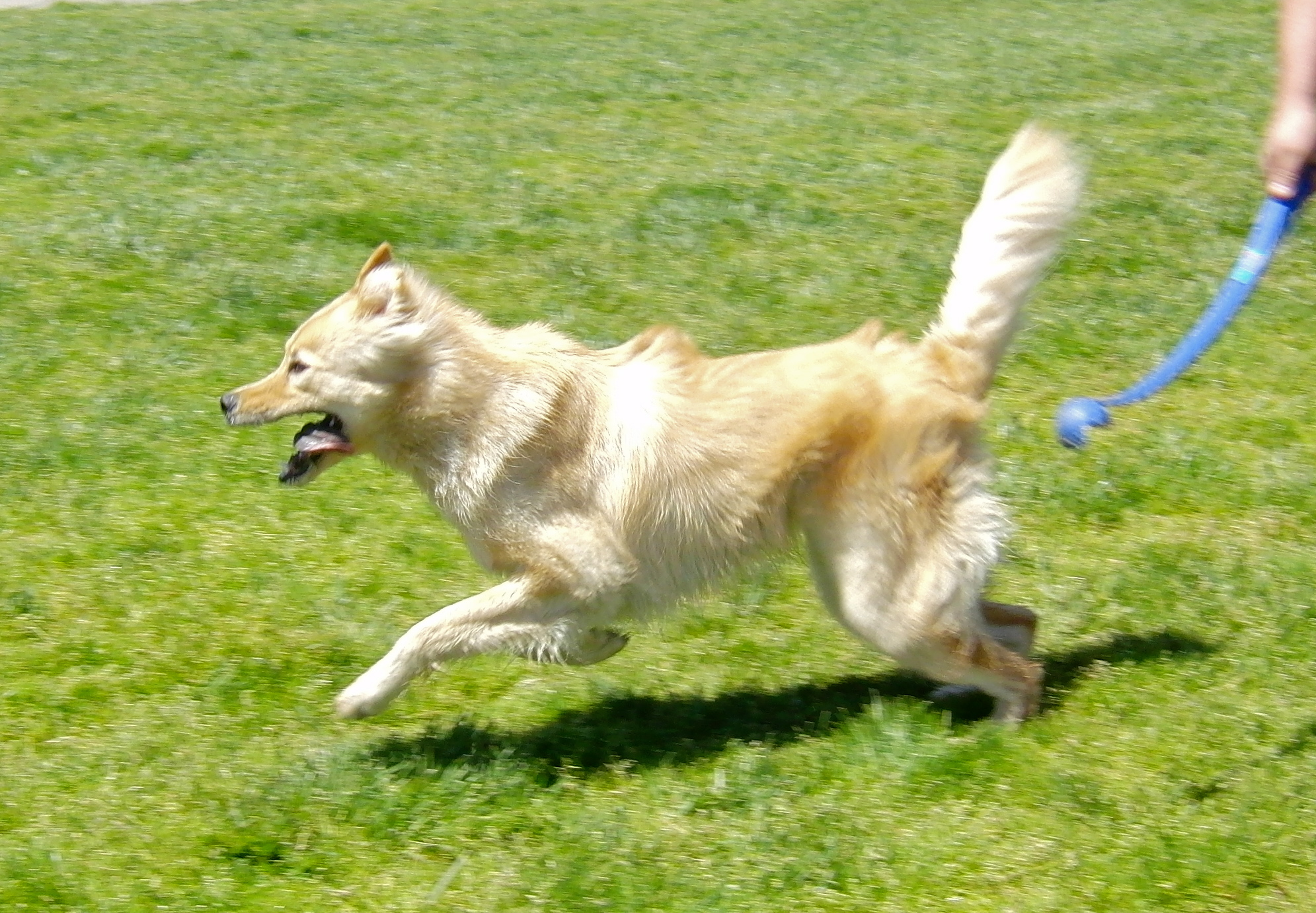 Mixers Mixers Vicking Vs Wolf ~ Dog of the day dexter golden retriever chow mix