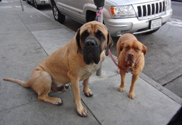 Double Dog Day: English Mastiff and Pit Bull (Mix?) - The ...