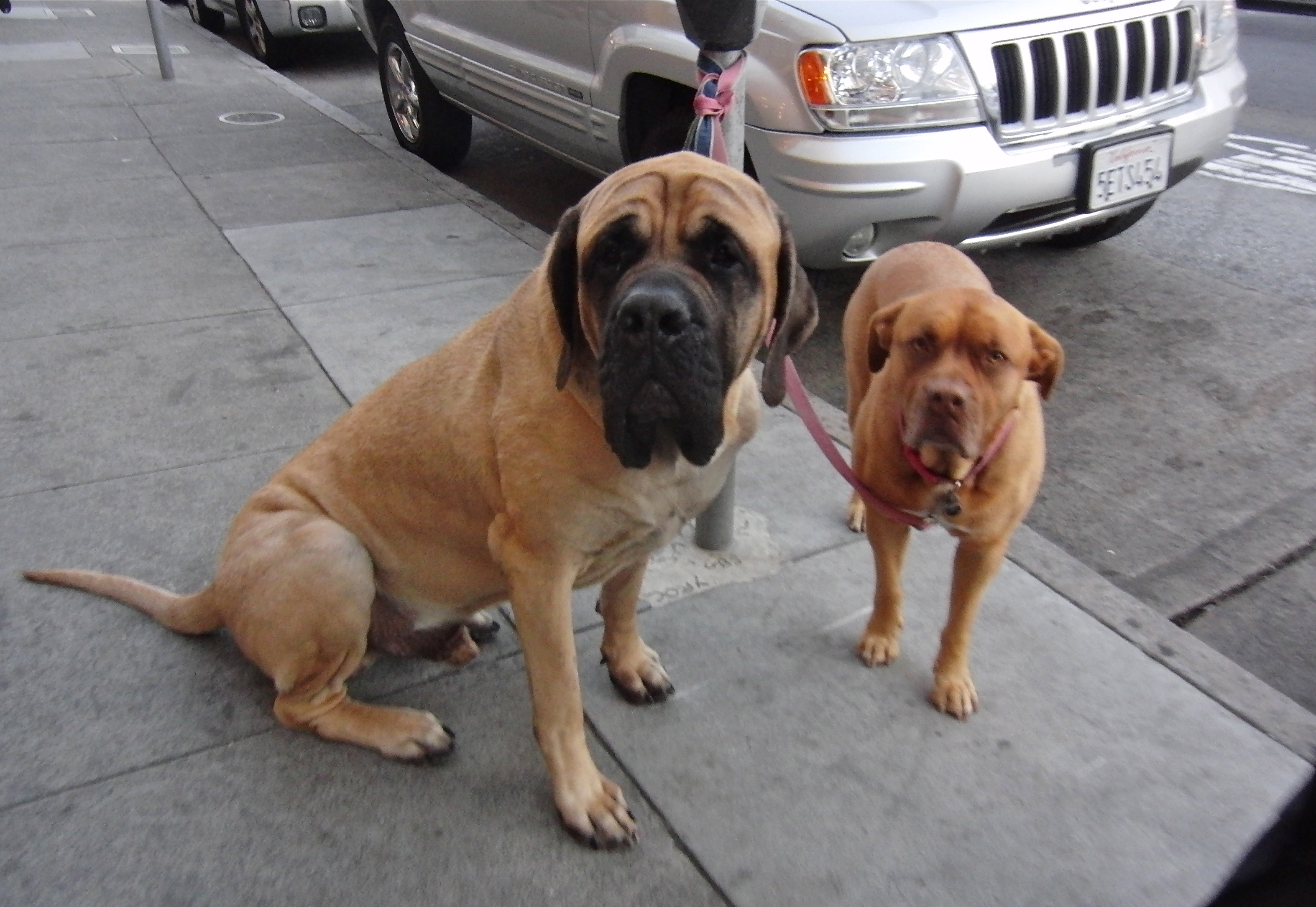 Double Dog Day English Mastiff And Pit Bull Mix The Dogs Of