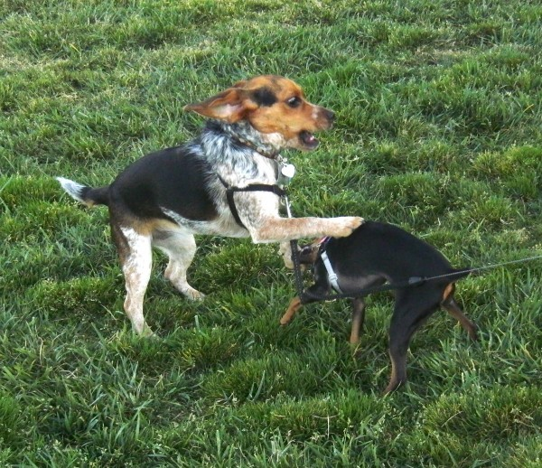 Miniature Pinscher (Min-Pin) and Bluetick Beagle