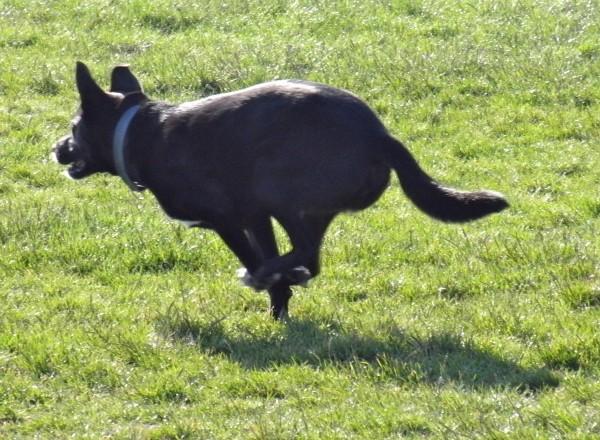 American Pit Bull Terrier/Labrador Retriever/Australian Cattle Dog Mix
