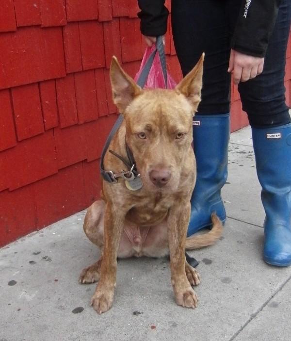 Pharaoh Hound/American Pit Bull Terrier Mix