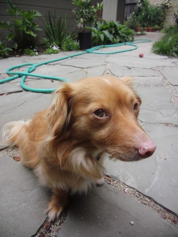 Watson the Dachshund/Chihuahua Mix