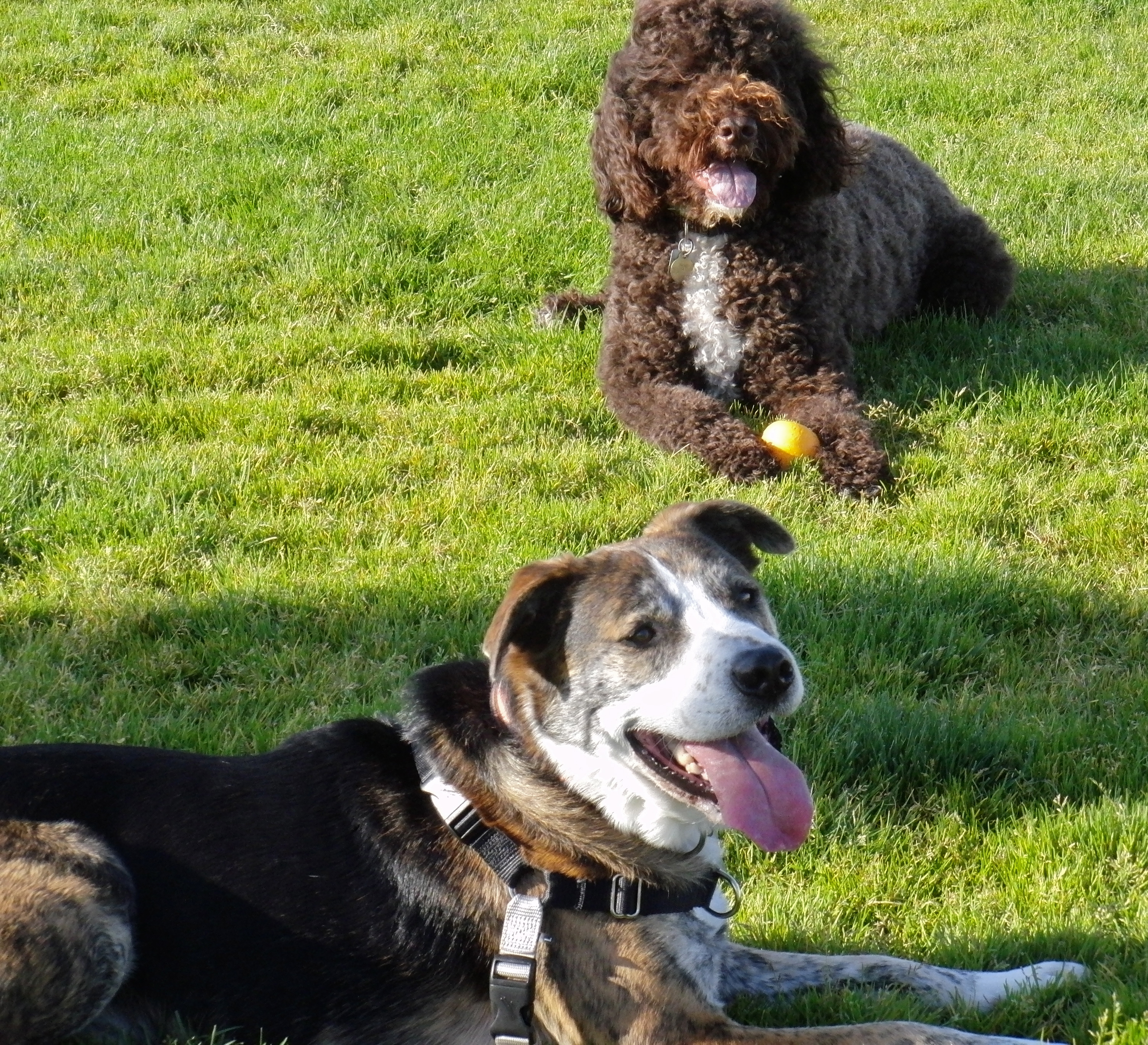 Portuguese Water Dog and Unknown Mixed Breed Dog