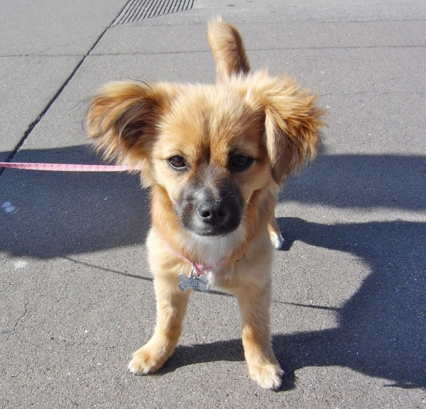 Dog Of The Day Zoey The Pom Chihuahua Dachshund Mix Puppy The
