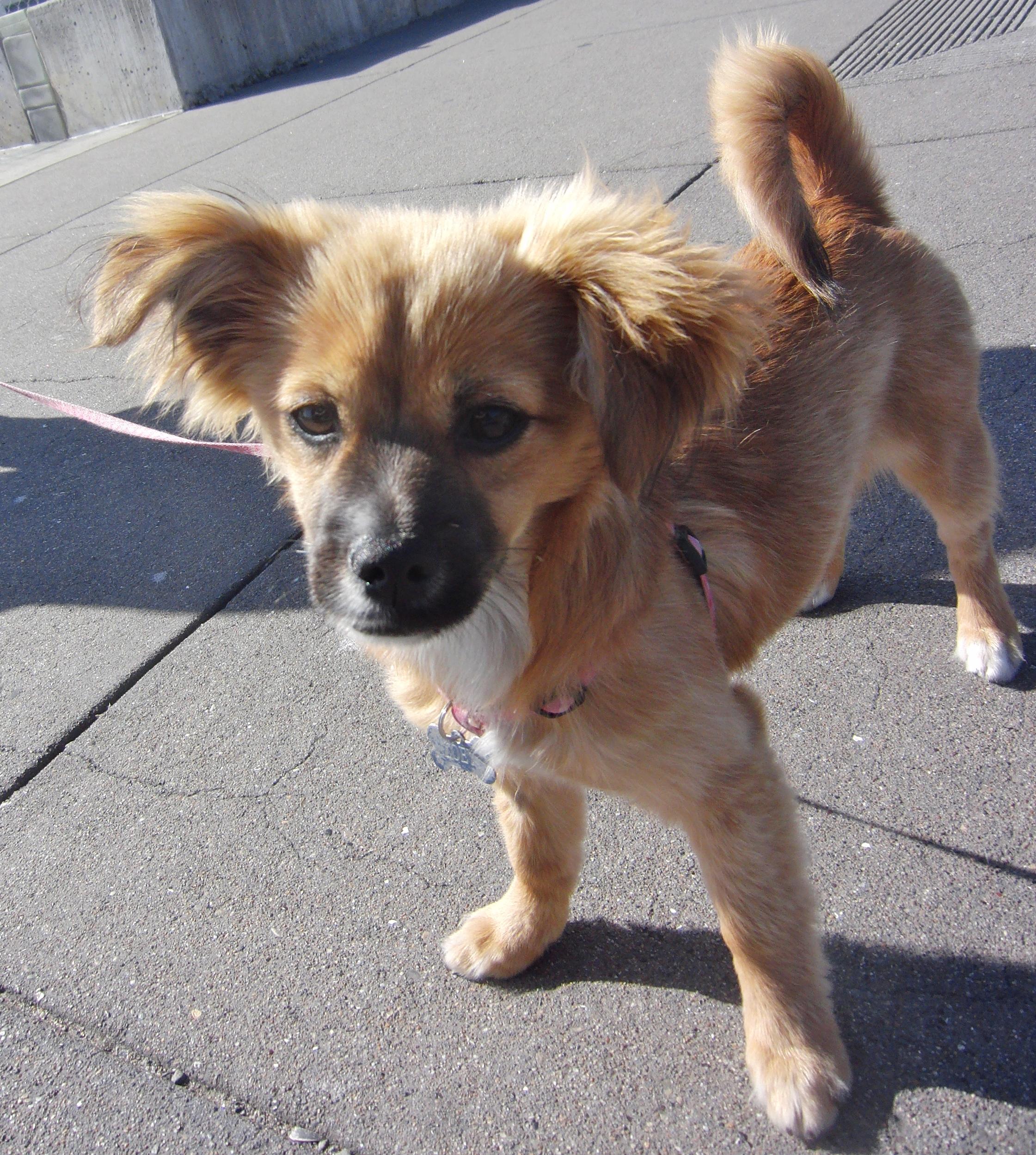 Chihuahua/Dachshund/Pomeranian Mix