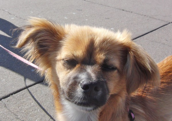Pomeranian/Dachshund/Chihuahua