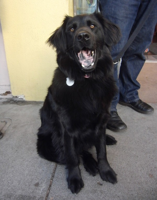 Day: Darcy the Newfie/Border Collie Mix | The Dogs of San Francisco