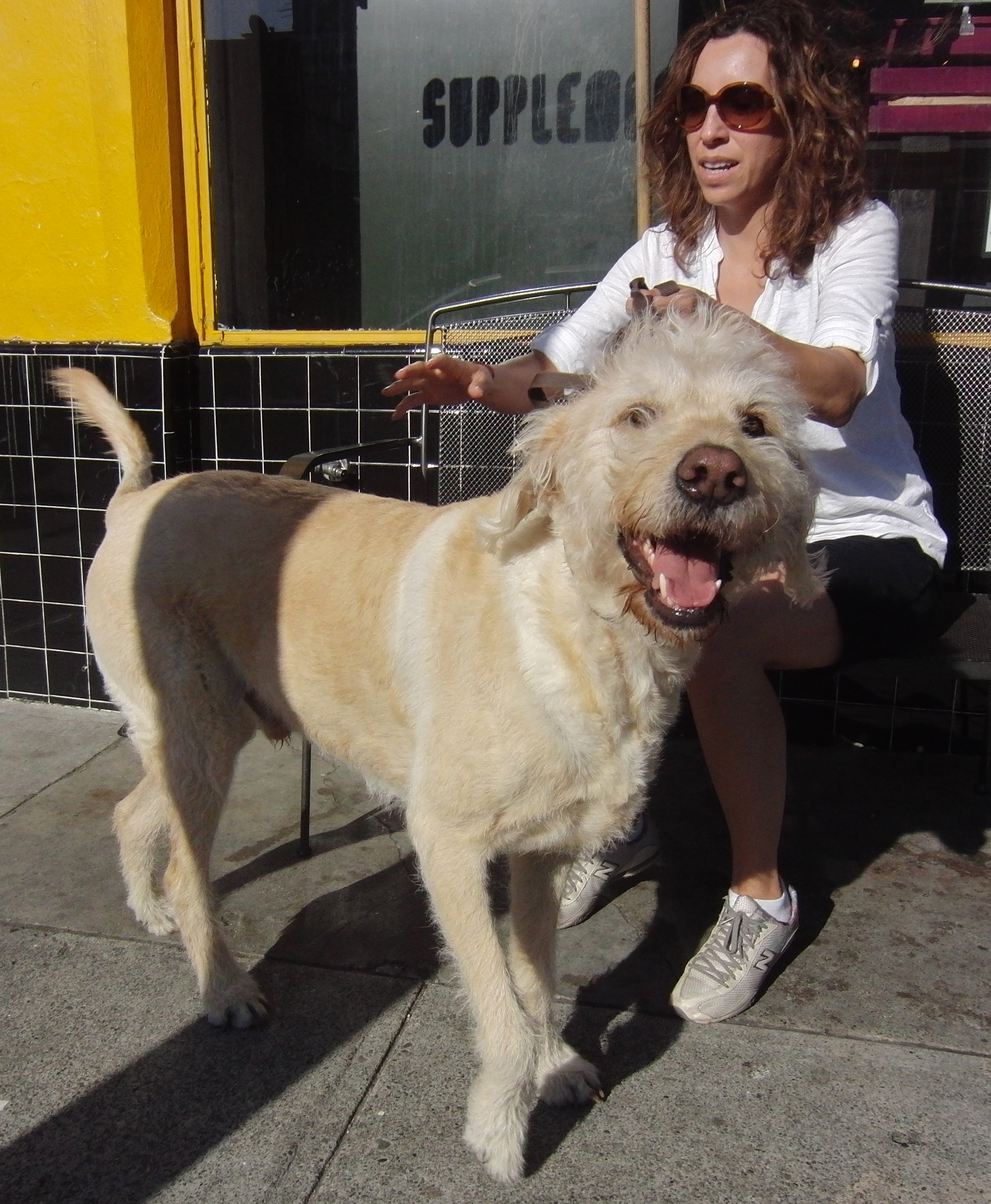 Humongous Labrador Retriever/Poodle Mix