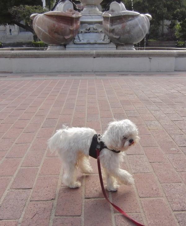 Tiny Maltese