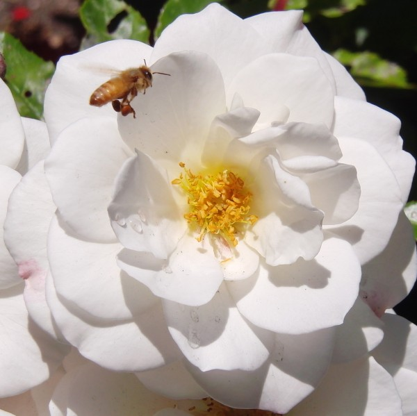 Honeybee In Front Of White Rose