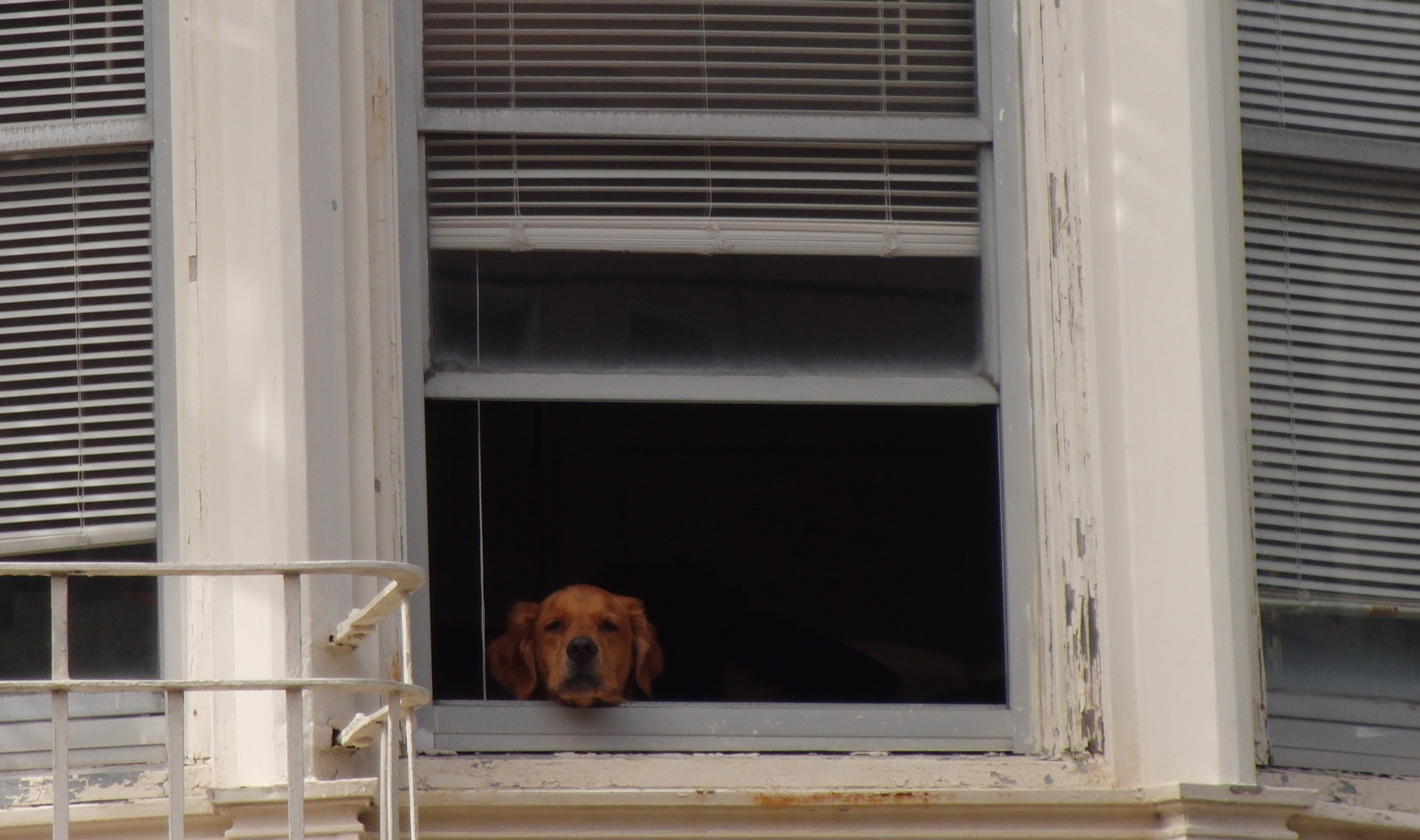 Labrador Retriever Mix In Window