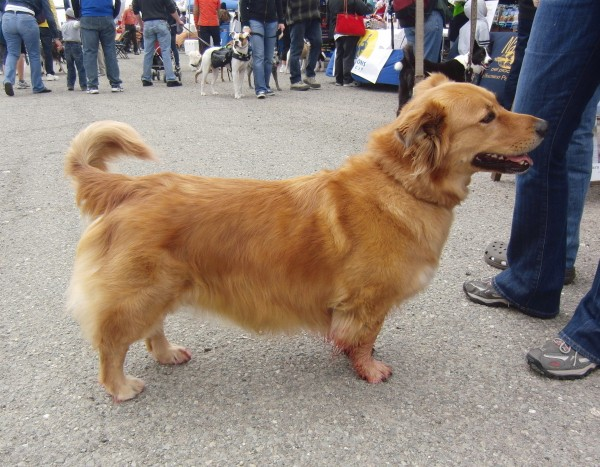 Corgi/Golden Retriever