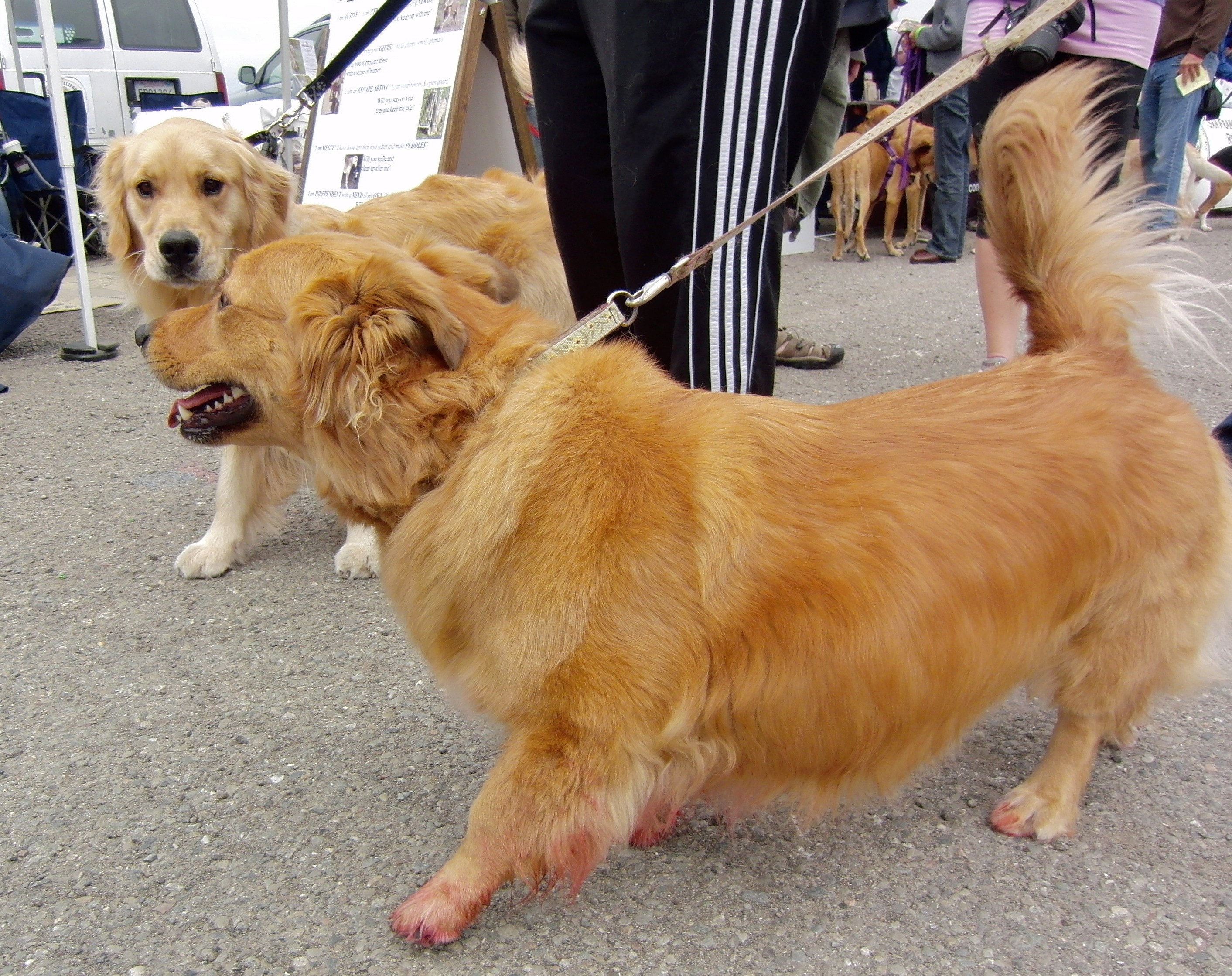Corgi/Golden Retriever and Golden Retriever