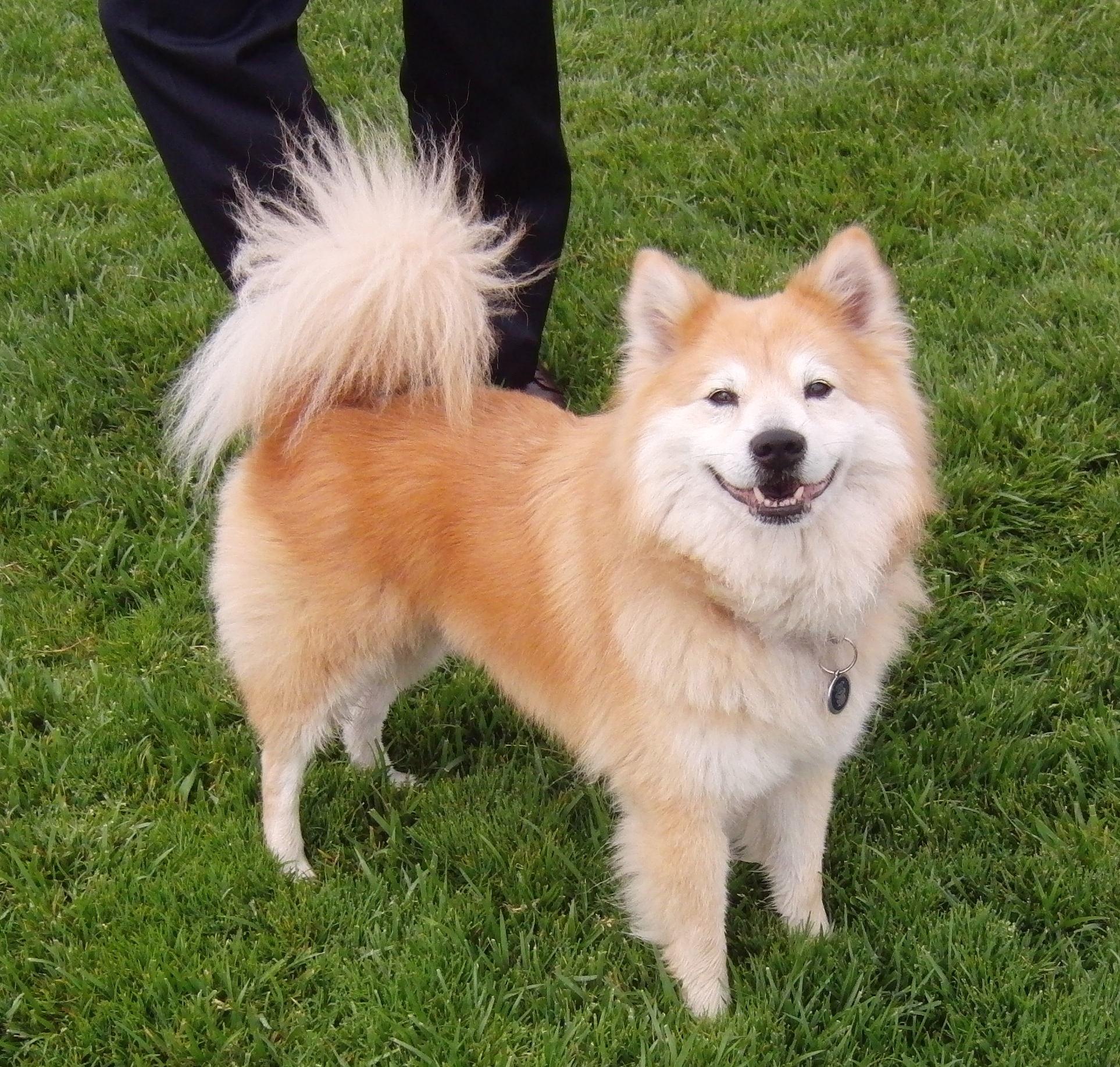 Dog Of The Day Dodge The Shiba Inu Chow Mix The Dogs Of