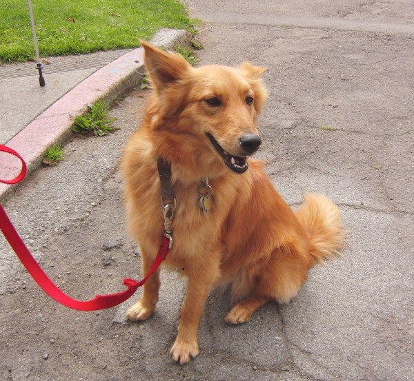 Golden Retriever/Shetland Sheepdog Mix