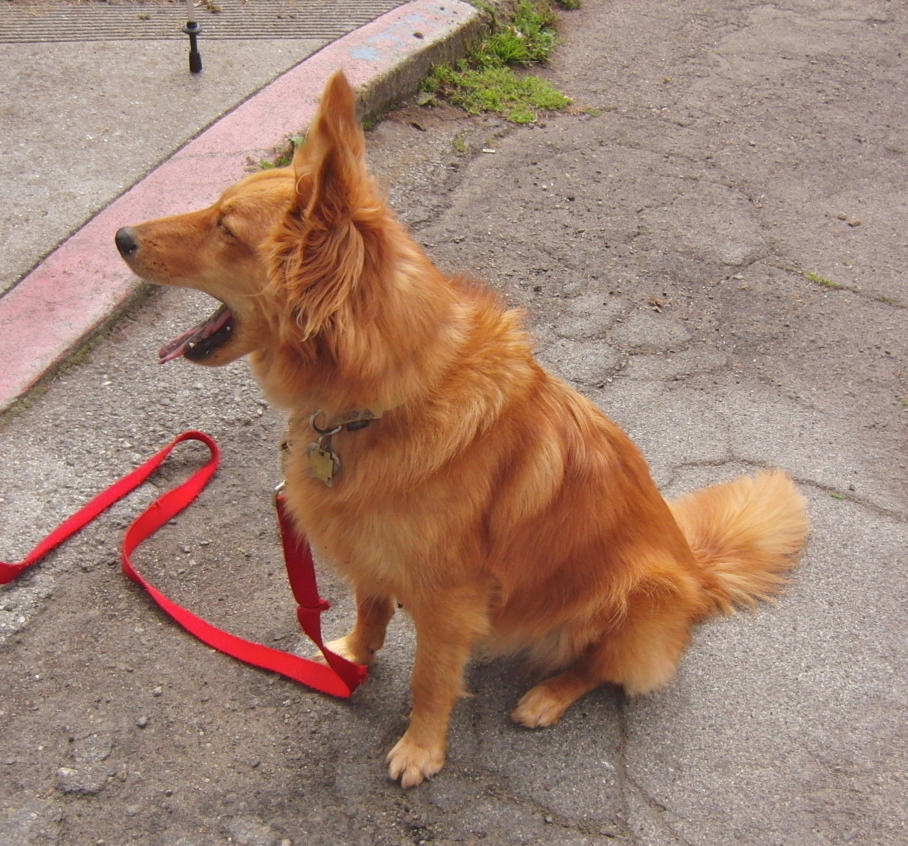 Golden Retriever/Shetland Sheepdog Mix