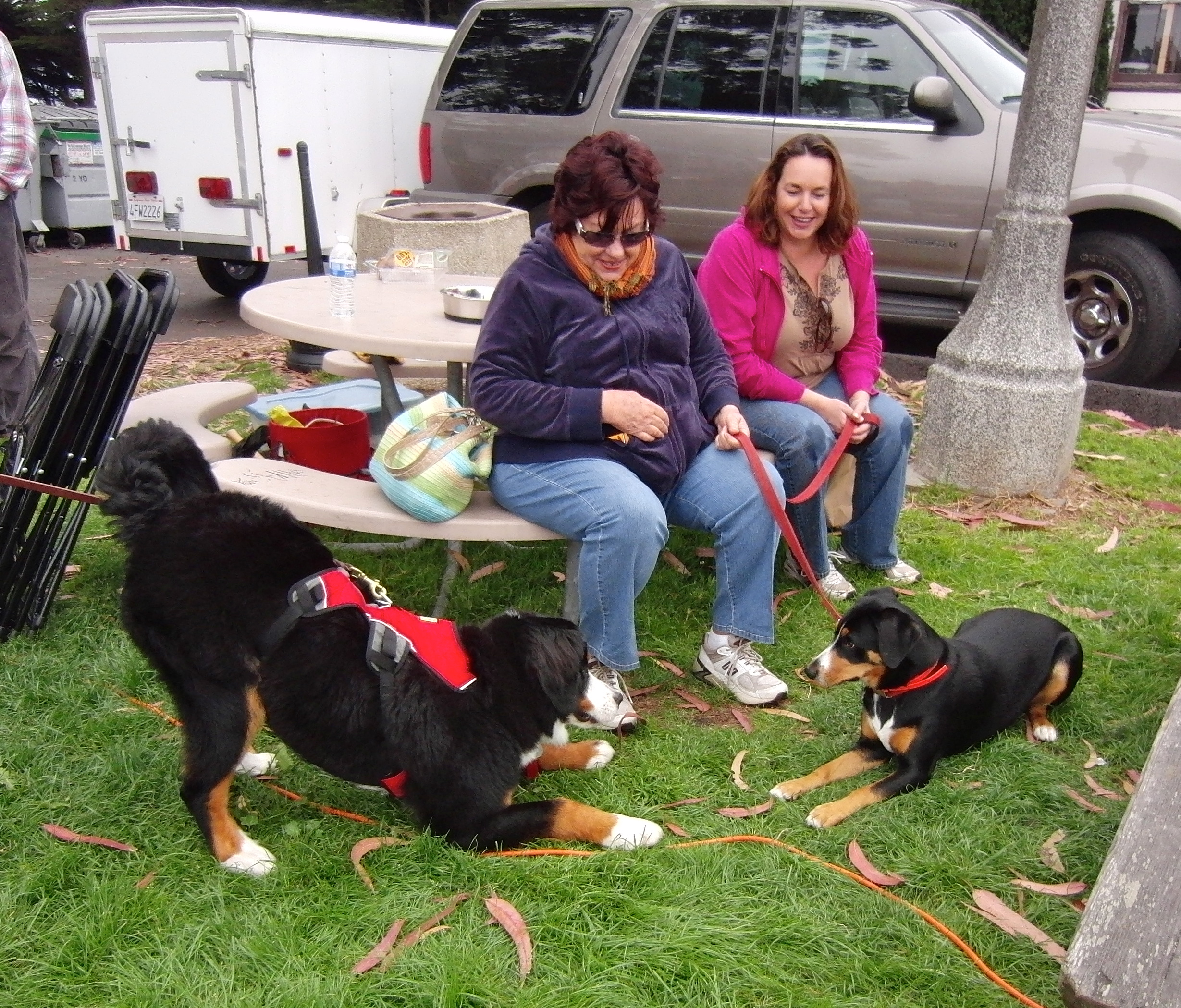 Bernese Mountain Dog and Greater Swiss Mountain Dog