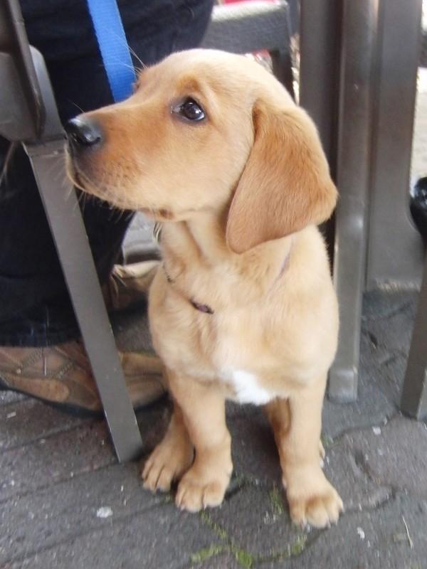 Labrador Retriever/Golden Retriever Mix