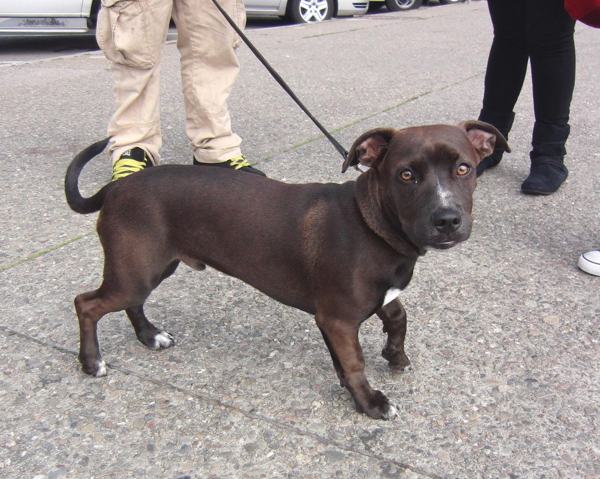 Staffordshire Bull Terrier/Labrador Retriever Mix