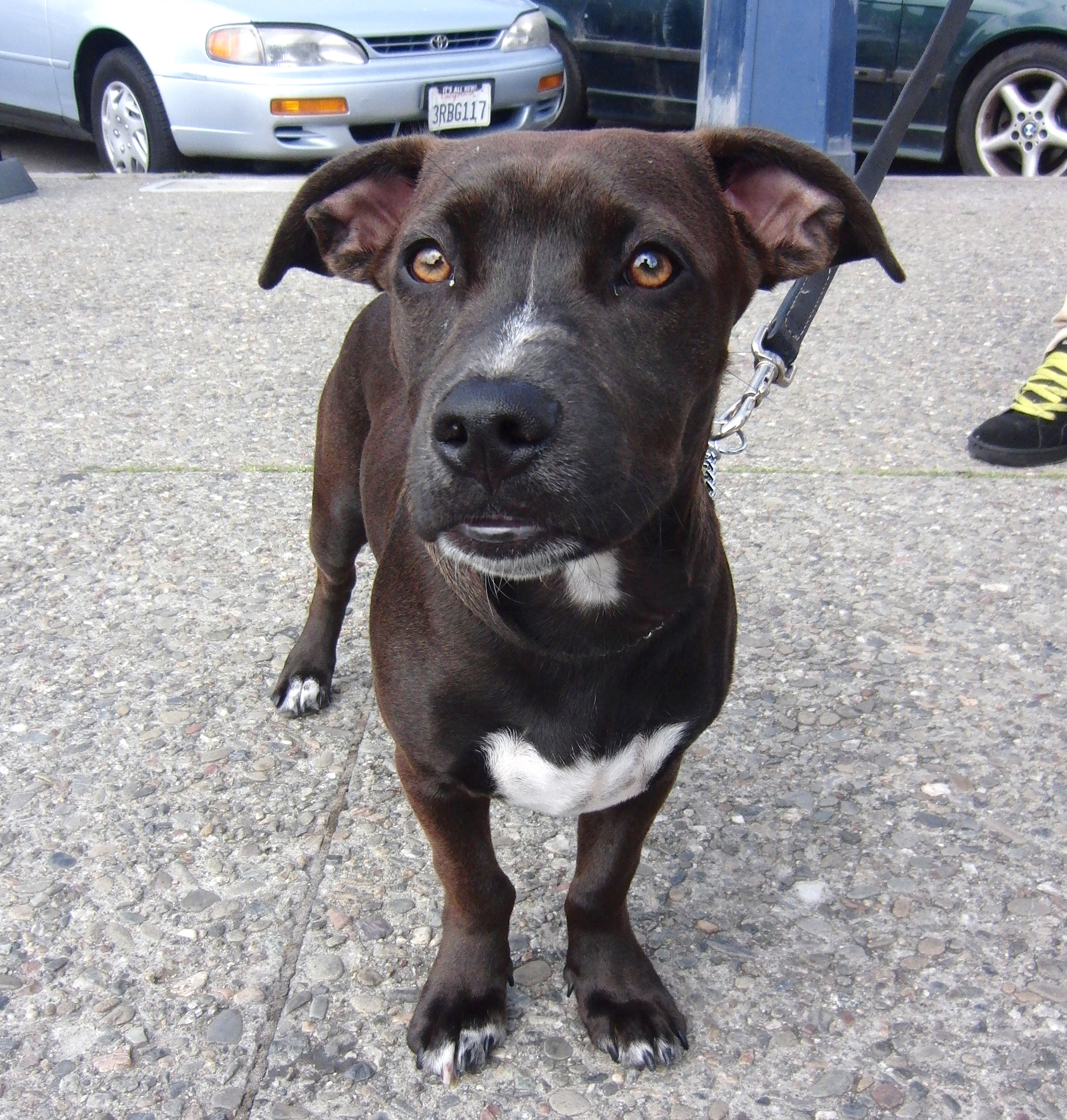 Staffordshire Bull Terrier/Labrador Retriever Mix
