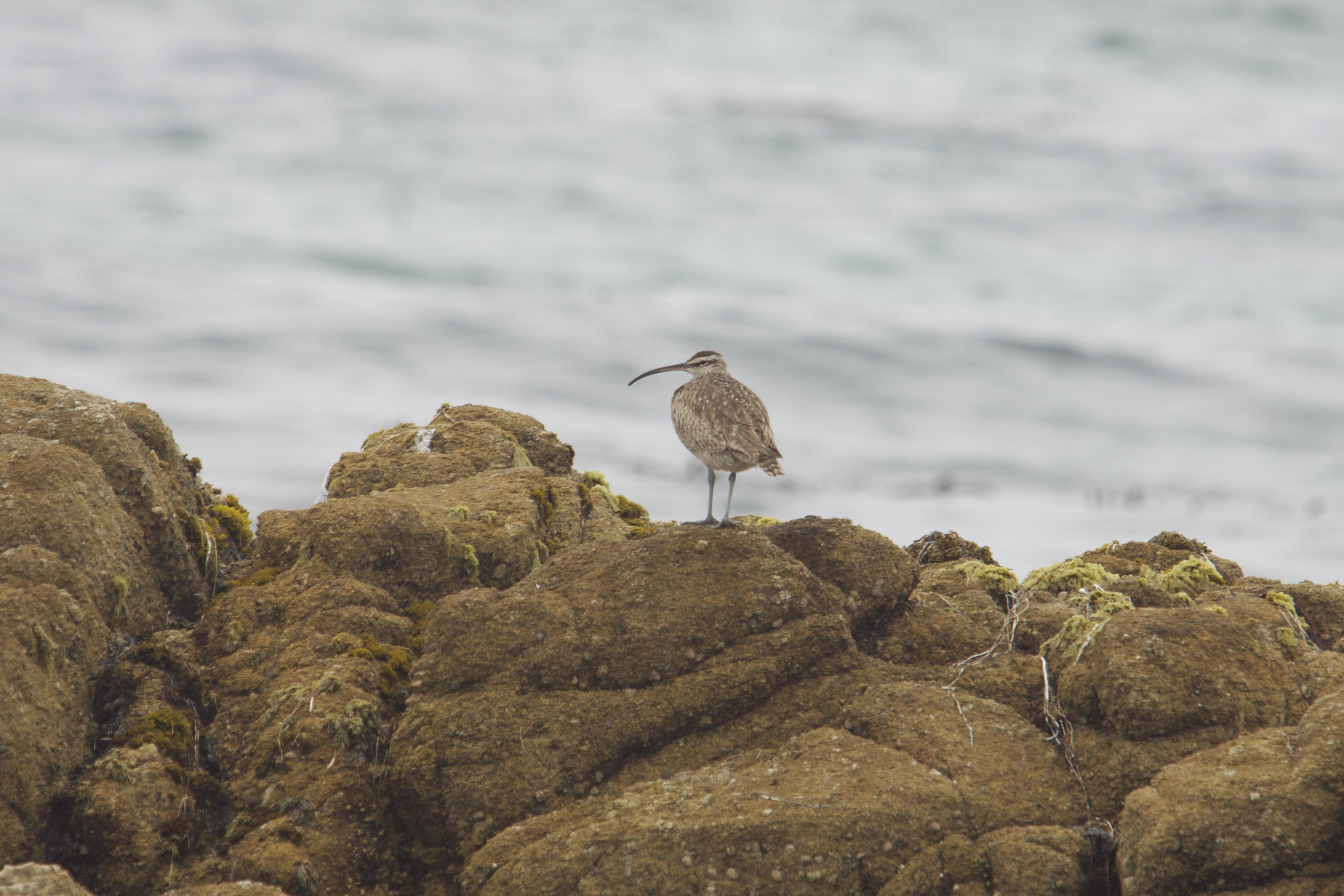 Whimbrel Near Monterey Bay