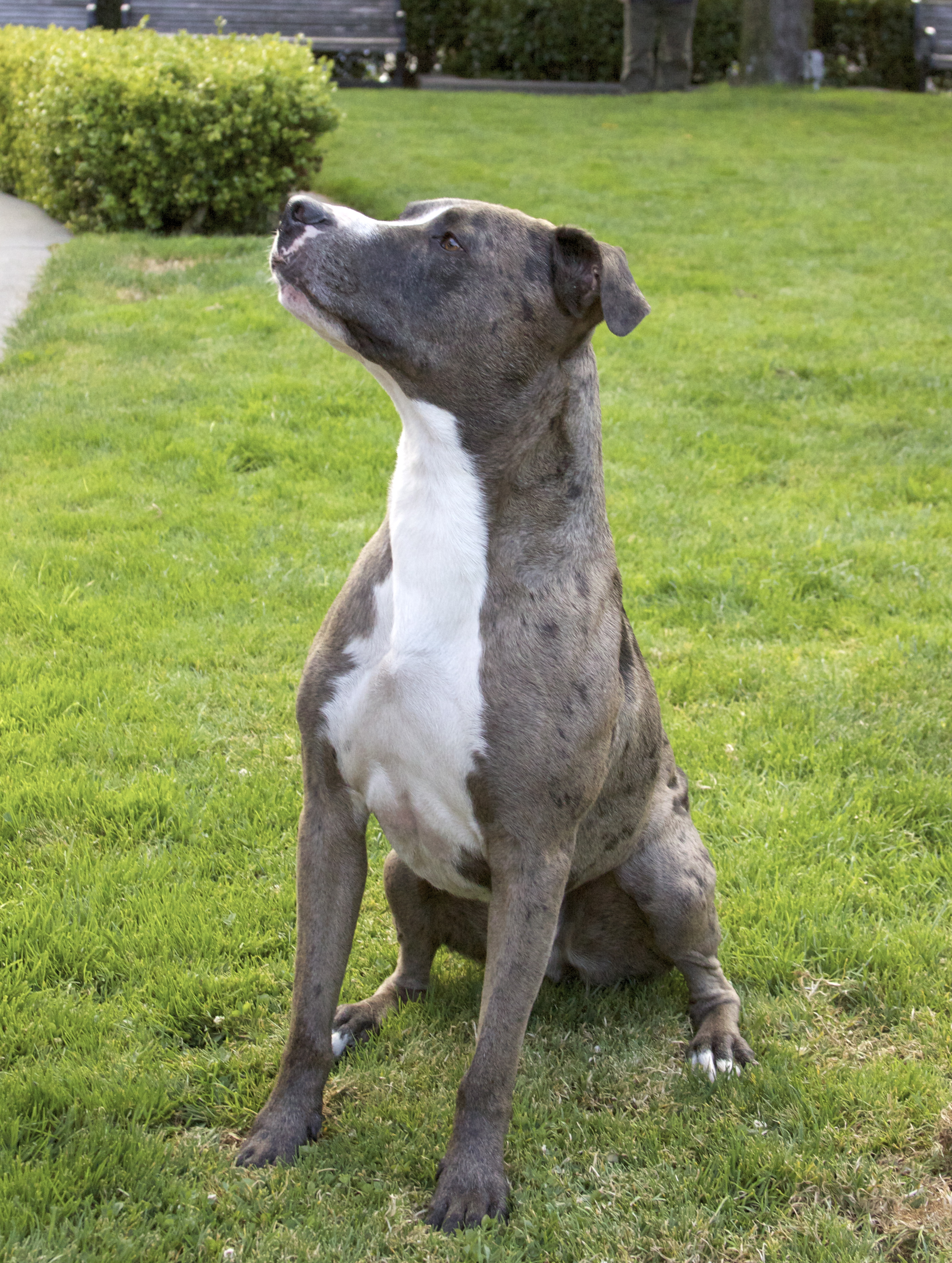 Australian Cattle Dog Pit Bull Mix The Dogs Of San Francisco