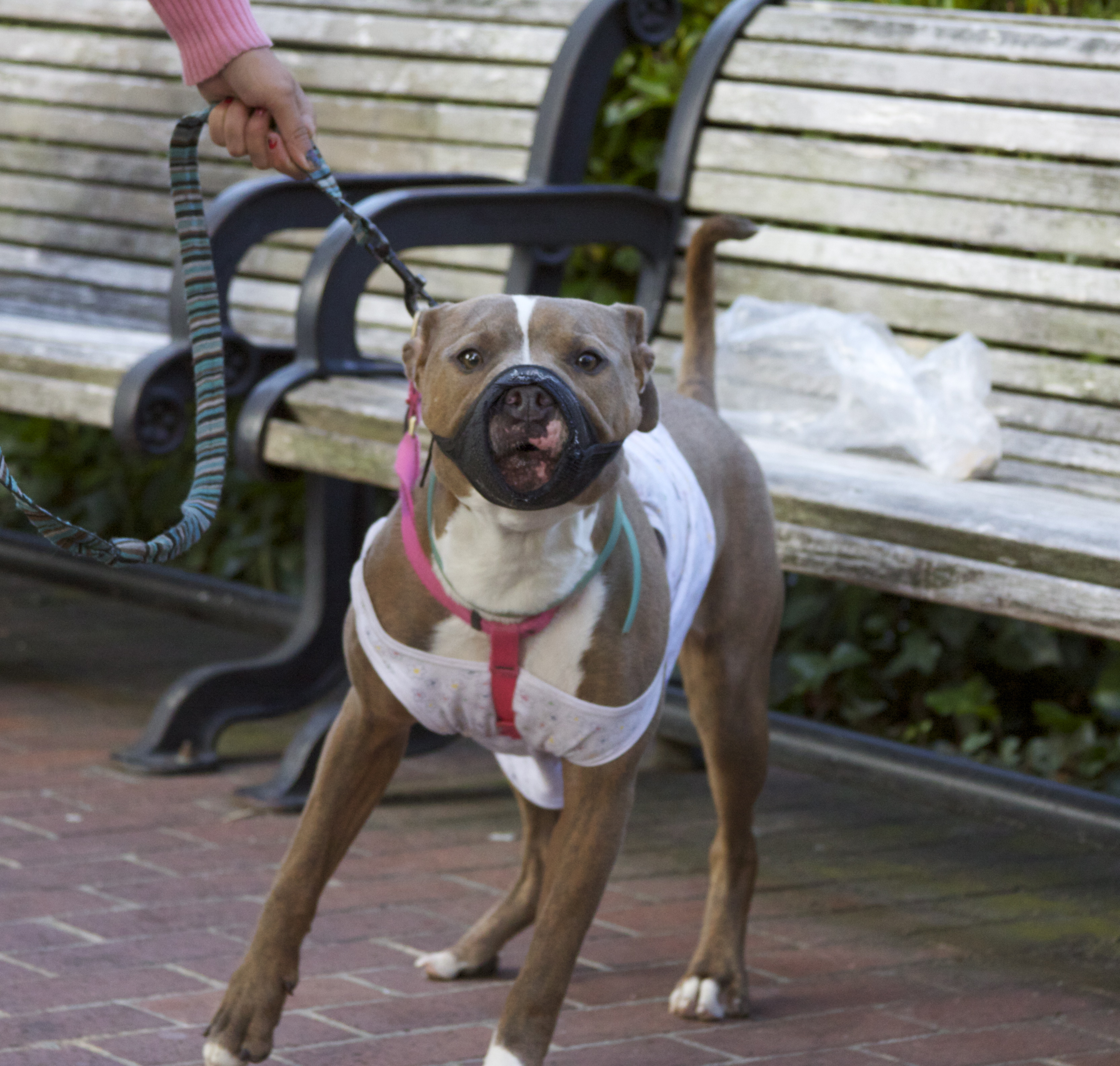 American Pit Bull Terrier The Dogs Of San Francisco