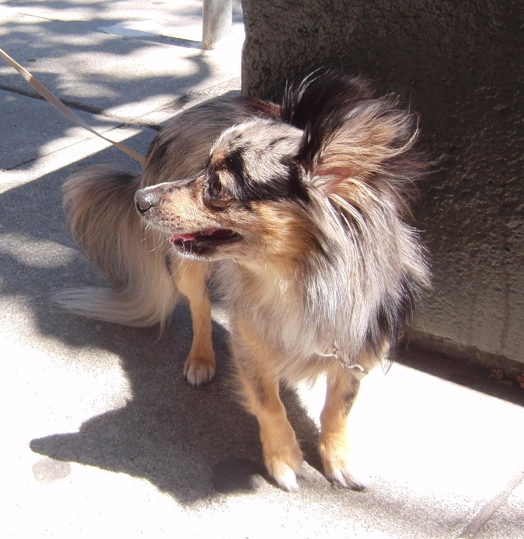 Pomeranian/Chihuahua/Dachshund Mix