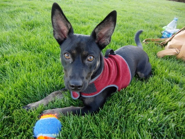 german shepherd chihuahua mix dog of the day abiba the chihuahua german shepherd 7756