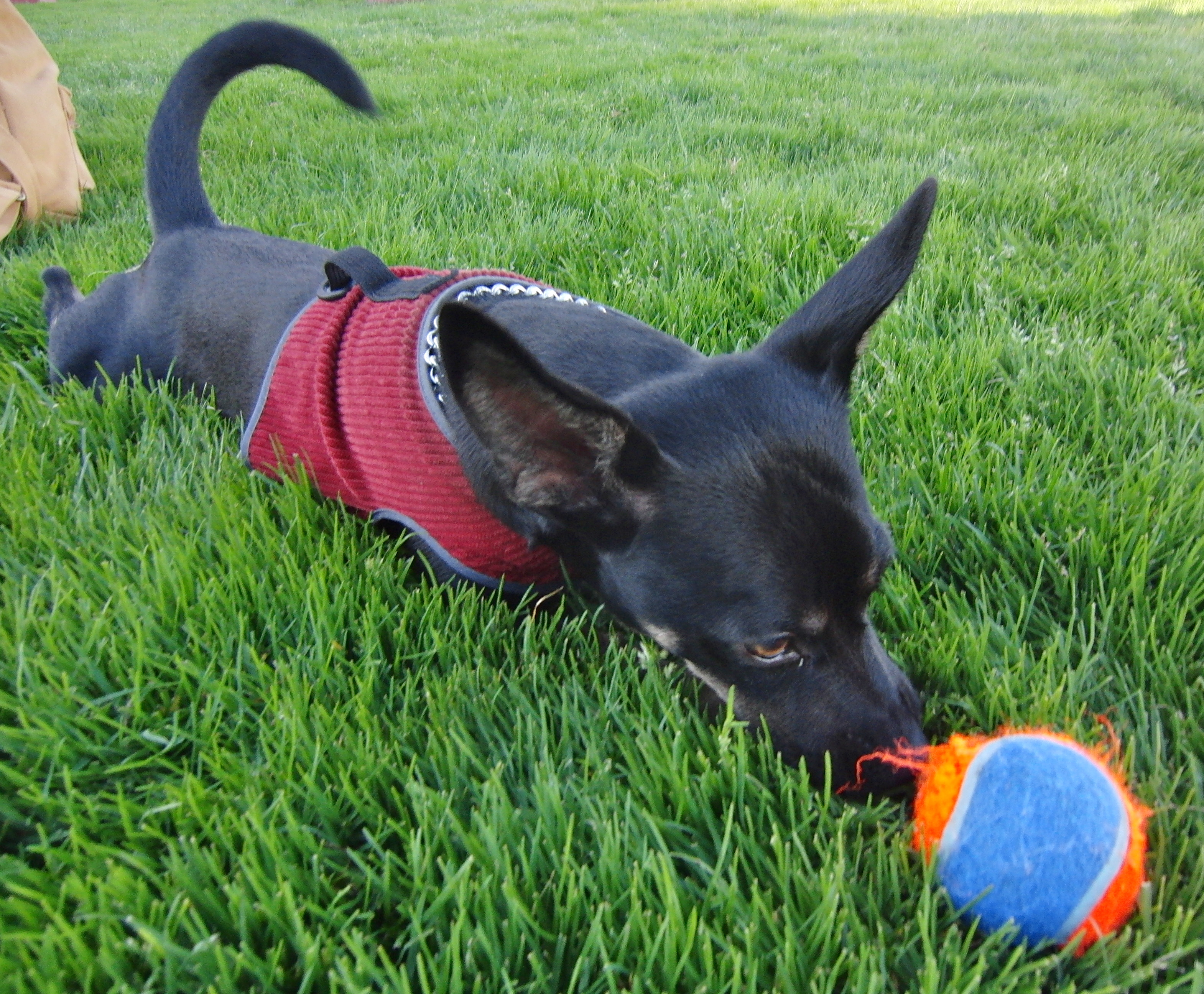german shepherd chihuahua mix my ball is my best friend well aside from mom it is 1629