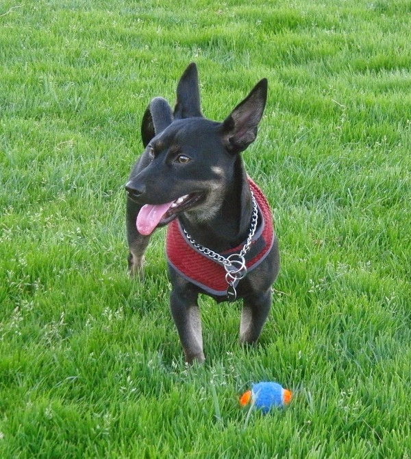 german shepherd chihuahua mix dog of the day abiba the chihuahua german shepherd 9206