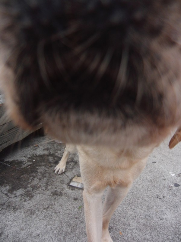 Labrador Retriever Nose