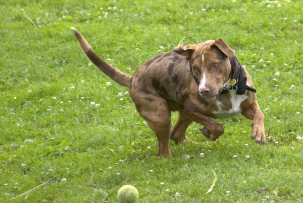 dog of the day another american pit bullaustralian