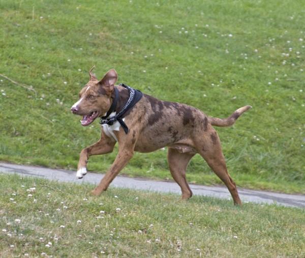 Australian Cattle Dog/American Pit Bull Terrier Mix