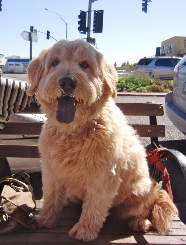 Chow/Wheaten Terrier/Poodle Mix