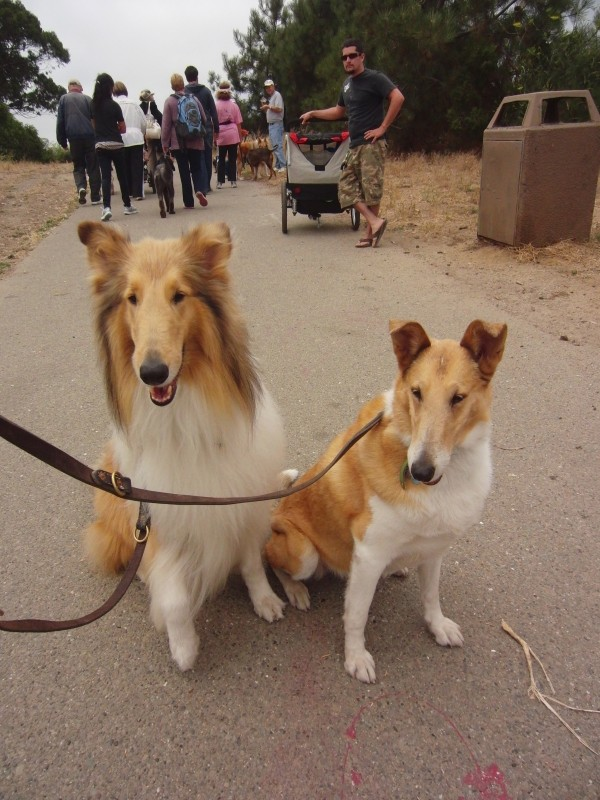 Rough-Coated Collie and Smooth-Coated Collie