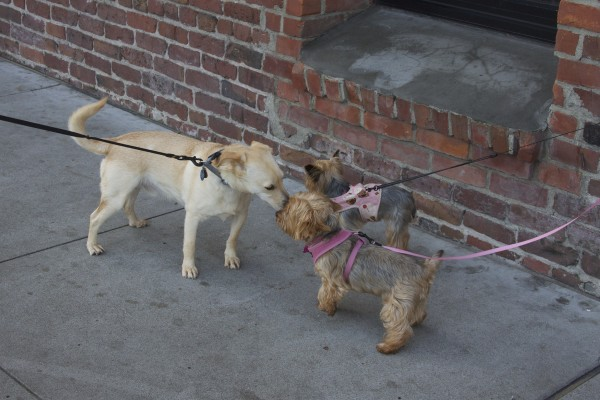 Labrador Retriever Mix and Two Yorkies