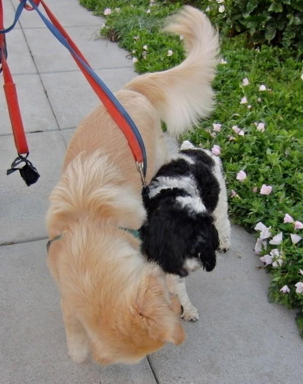 Golden Retriever and Cocker Spaniel/Poodle Mix