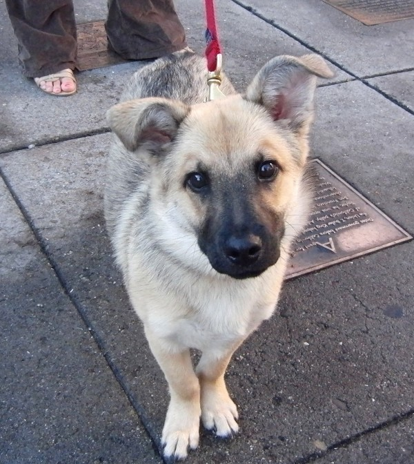 ... Month-Old Vallhund/German Shepherd Mix | The Dogs of San Francisco