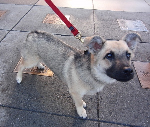 Dog of the Day: Baloo the 7-Month-Old Vallhund/German ...