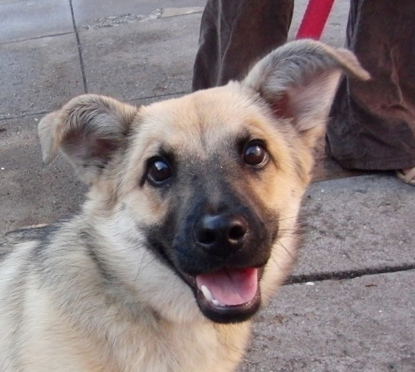German Shepherd Mix