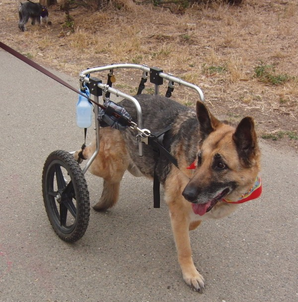 German Shepherd with Wheels