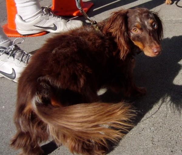 Long-haired Miniature Dachshund