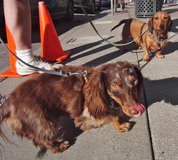 Wire-Haired Miniature Dachshund and Long-Haired Miniature Dachshund