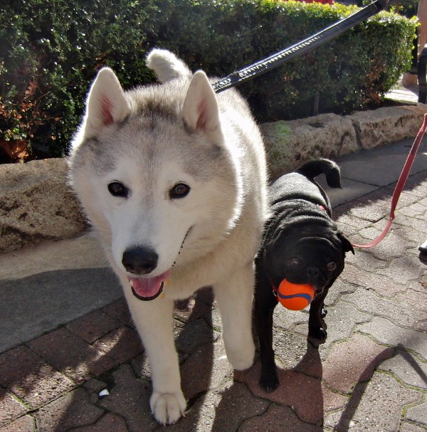 Siberian Husky and Pug