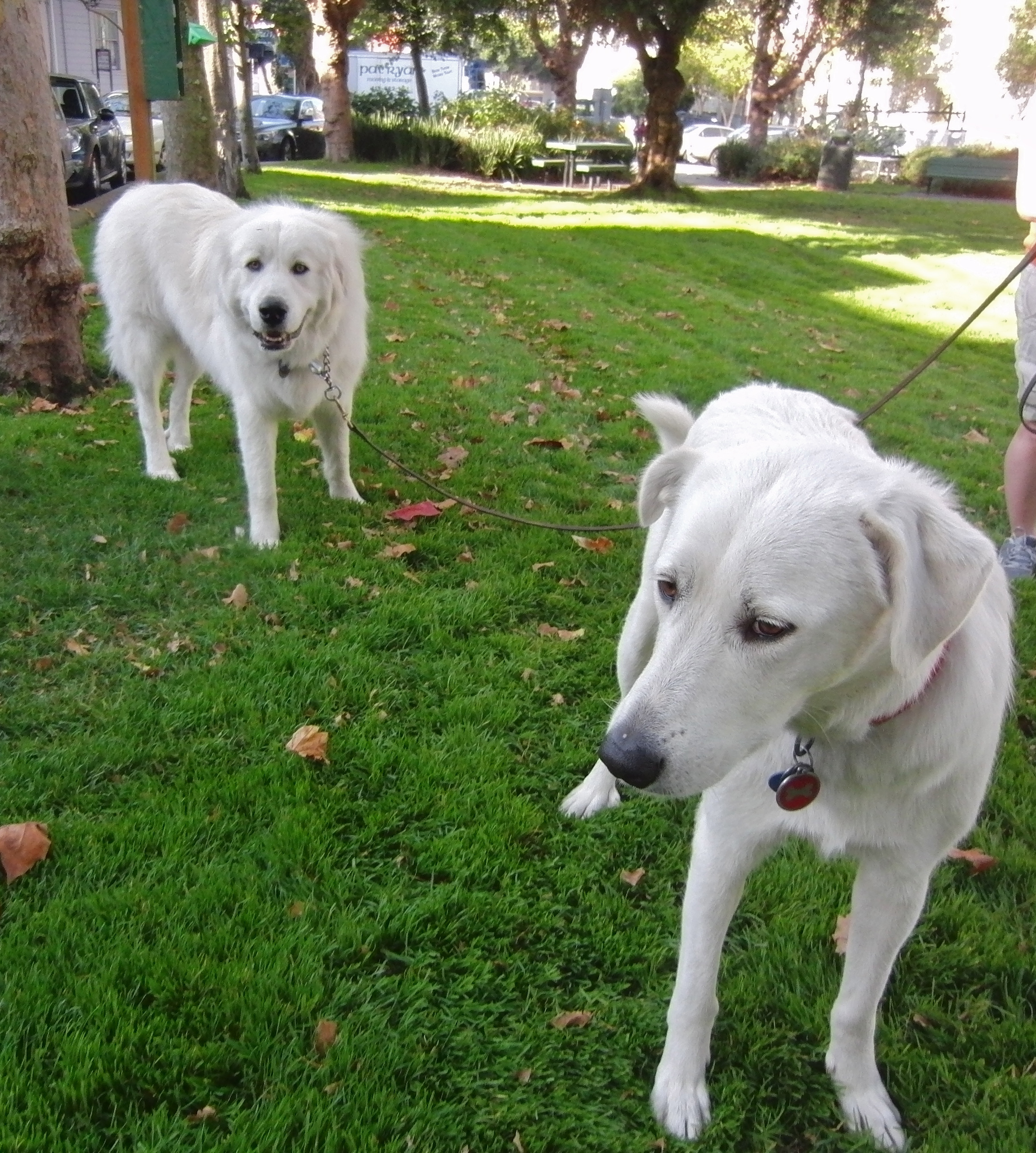 Akbash Dog and Great Pyrenees Dog