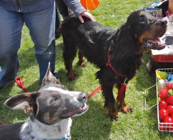 Gordon Setter and Australian Cattle Dog/Border Collie Mix