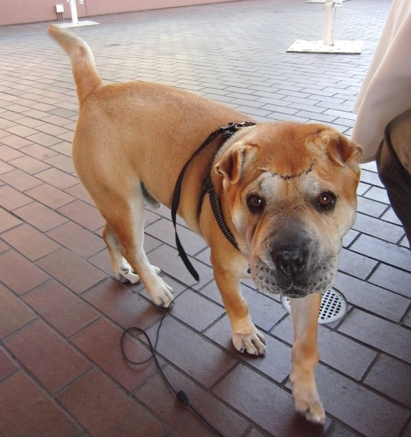 Dog of the Day: Uno the Shar-Pei/Bulldog Mix | The Dogs of San