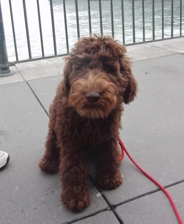 Labrador Retriever/Poodle Mix
